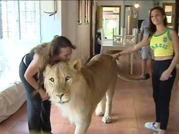 Una pareja de Girona convive con un león de más de 250 kilos en su casa