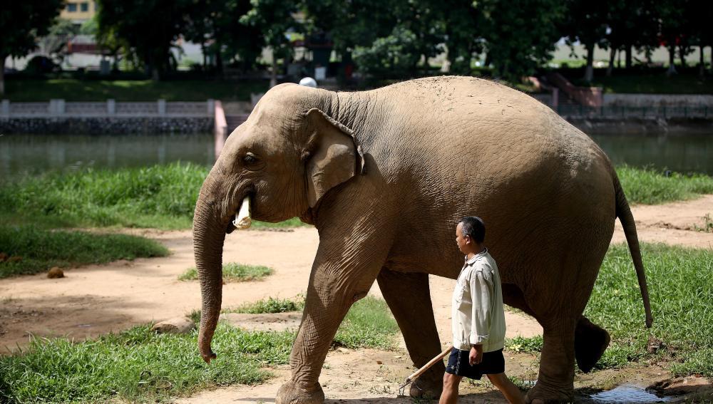 Un mahout, guía de elefantes, con una cría en el zoo de Hanói en Vietnam