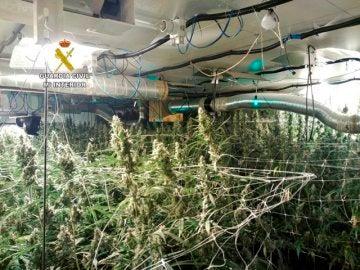 Plantación de marihuana en Ibiza