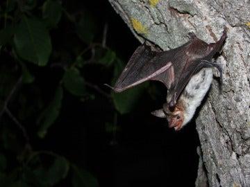 Grupo de murciélagos ratoneros