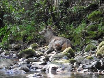Ejemplar de ciervo macho herido a causa de un disparo en las patas delanteras