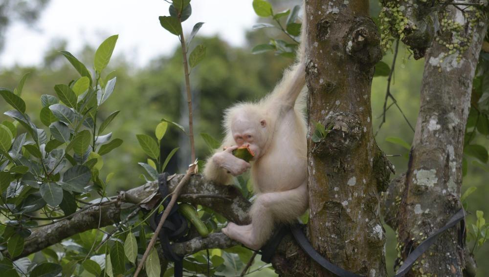 La orangutana albina de Indonesia