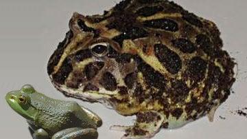 Comparación de la rana extinta con una de la especia 'American Bullfrog'