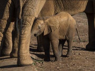 El nacimiento de 19 elefantes africanos en 27 años, dos de ellos en menos de un mes