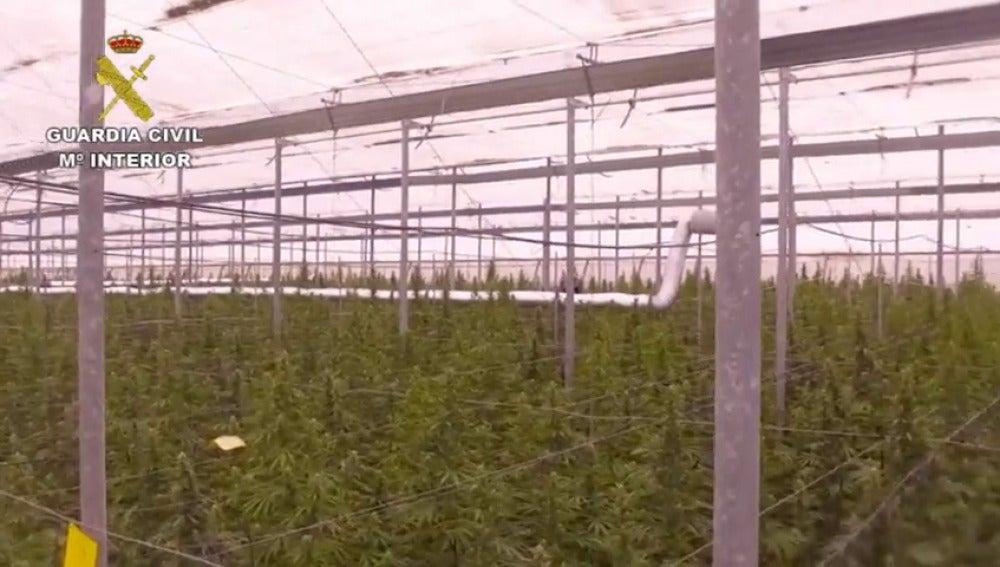 Intervenidas 42 mil plantas de Marihuana en Almería