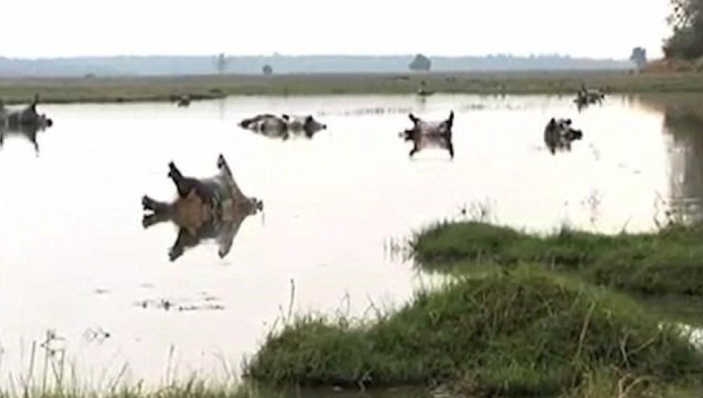 Hipopótamos fallecidos