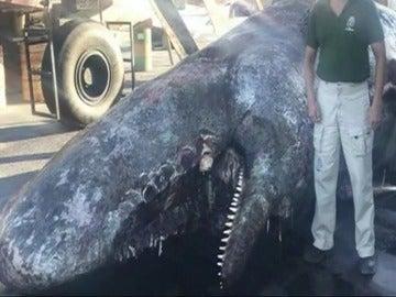 Aparece el cadáver de un cachalote de 9 metros en El Hierro