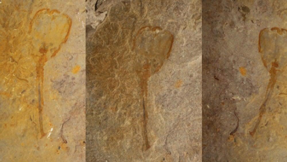 Un extraño ser en forma de tulipán de hace 500 millones de años aparece fosilizado en Utah