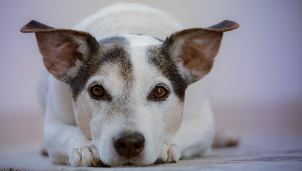 Perro con las orejas levantadas