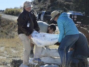 Varios paleontólogos con un fósil de tiranosaurio