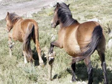 Imagen de archivo de unos caballos con cepos