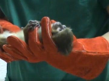 Uno de los monos abandonados