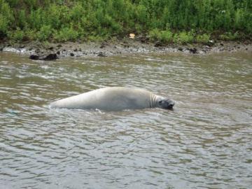 El elefante marino rescatado