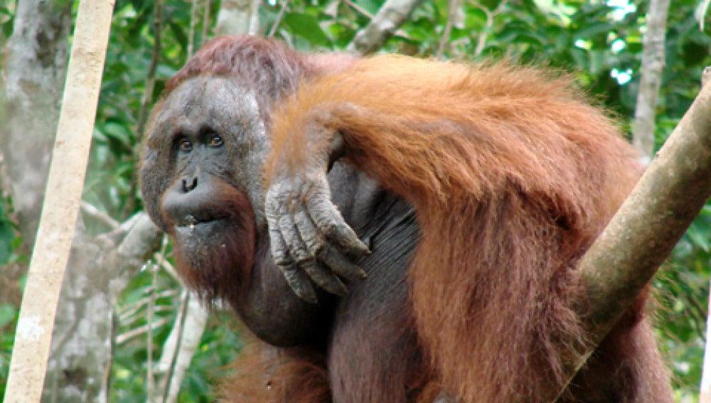 La nueva especie de orangután