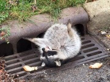 Un mapache se queda atrapado en una alcantarilla