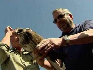 Dos águilas recuperadas, una estaba en coma tras un disparo y la otra fue envenenada, vuelven hoy a volar