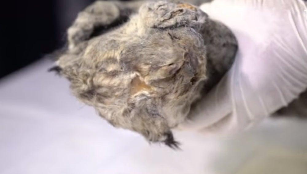 El cachorro de león encontrado en Siberia