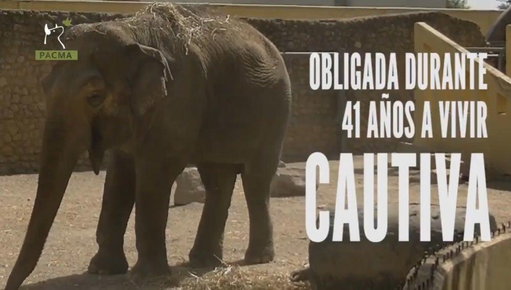 Flavia, la única elefante que vive sola en el zoo de Córdoba