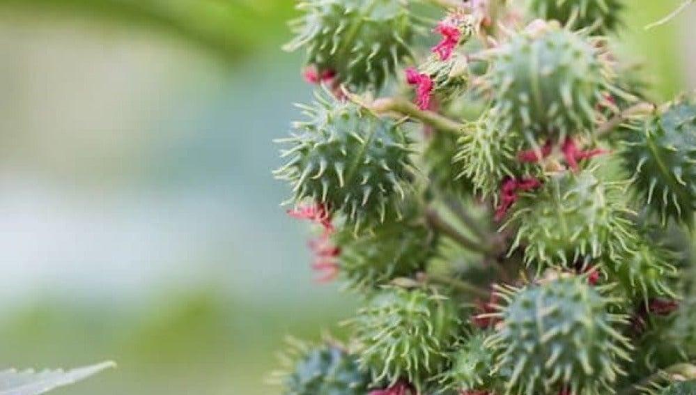Planta de ricino