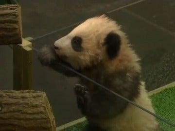 El primer bebé panda en Francia ya tiene nombre