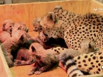 Nacen ocho cachorros de guepardos en un zoo cuando la media es de tres o cuatro crías por parto