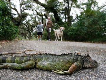Una iguana muerta tras caer de un árbol