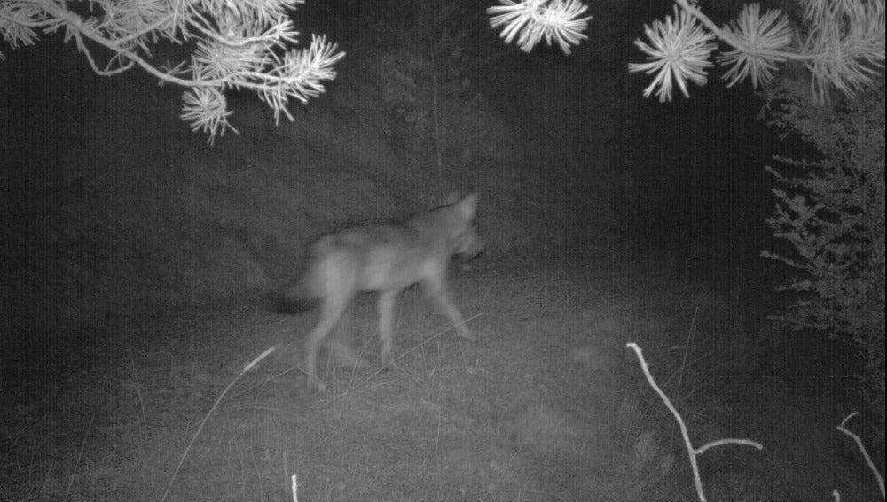 El lobo encontrado en Port del Comte