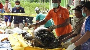 Varios operarios trasladan el cadáver del orangután