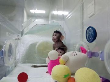 Nacen los primeros monos clonados con la misma técnica de la oveja Dolly