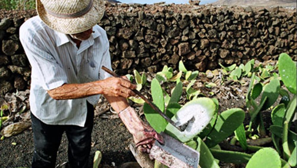 Producción Agrícola de Cochinilla en Canarias