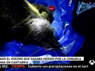 Rescatado un osezno en Cantabria