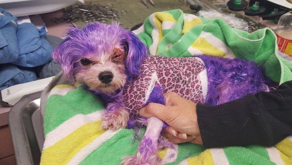 Violet, la perrita a la que tiñeron todo el pelaje de morado