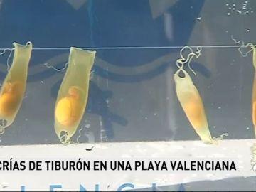 """L'Oceanogràfic suelta 20 tiburones 'pintarroja' al mar tras criarlos a partir de """"descartes de pesca"""""""