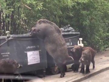 Capturan a un jabalí gigante en Hong Kong