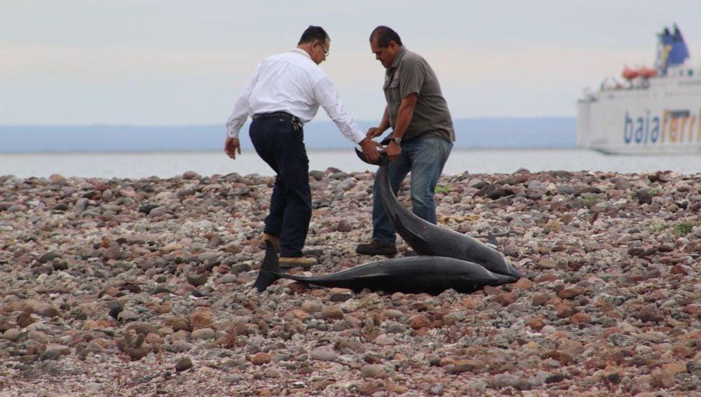 Autoridades del Medio Ambiente y residentes del municipio de La Paz devuelven al mar a decenas de delfines