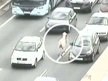Caos en una carretera sevillana por culpa de una oveja