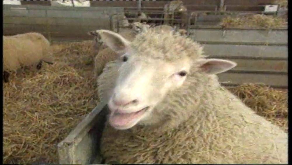 La oveja Dolly era sacrificada a los seis años de su creación