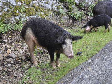 Jabalíes cerca de la carretera