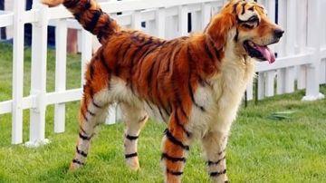 Dog-In-Tiger-Costume-Funny-Photo.jpg