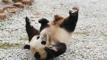 osa-panda-feliz-compressor.jpg