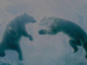 Día Internacional del Oso Polar: su extinción está cada vez más cerca