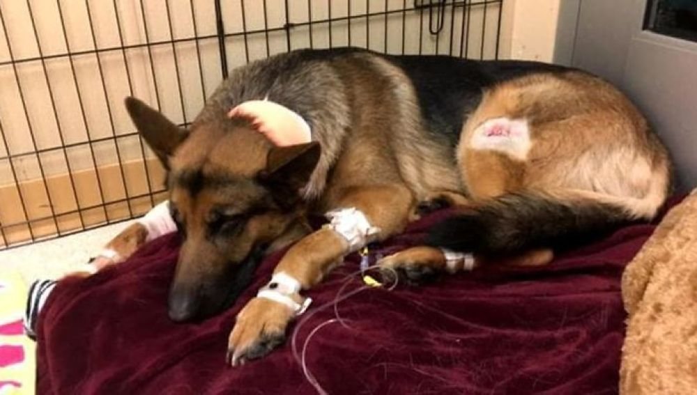 Dog-hero-almost-loses-his-life-by-saving-his-owner-from-criminals-5a93fa09bc95d__700.jpg