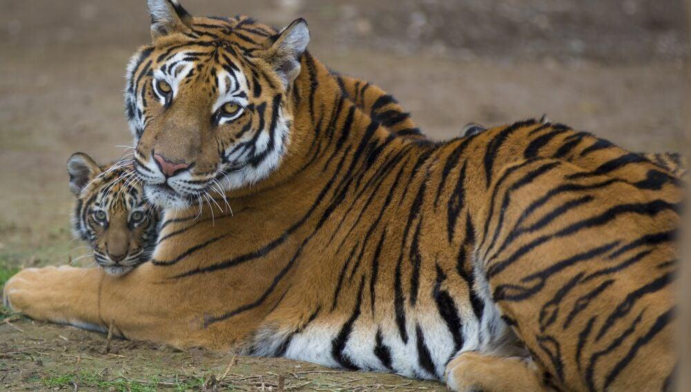 Un tigre con su cría