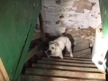 Jumping Bean, el pitbull rescatado