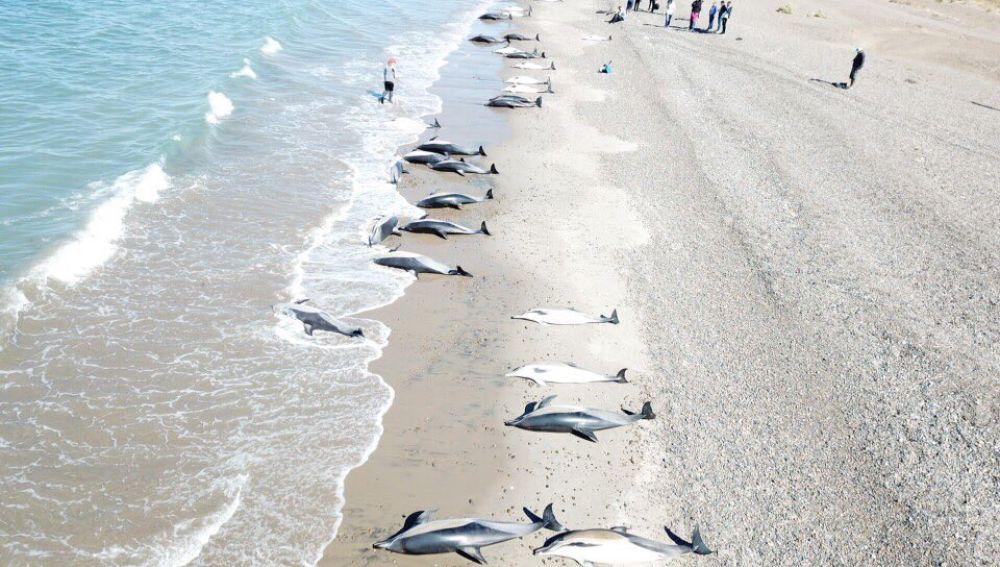 Delfines muertos en una playa de la localidad argentina de Puerto Madryn