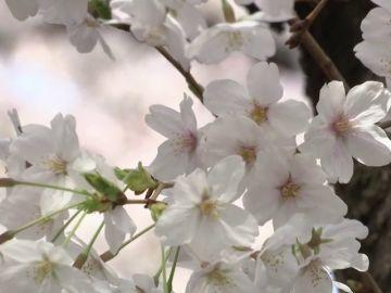 Las flores de cerezo tiñen de rosa a Tokio en su momento álgido de floración