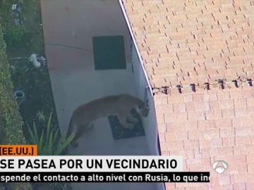 Alerta en Los Ángeles por la presencia de un puma en una zona residencial