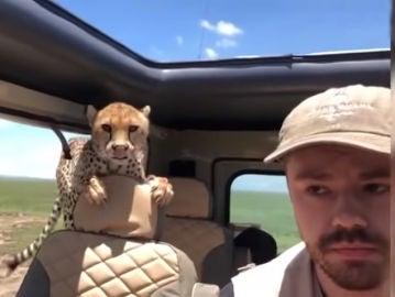 Un guepardo se cuela dentro del jeep de un turista