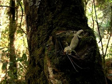 Un lagarto que habita en los bosques del estado de Chiapas