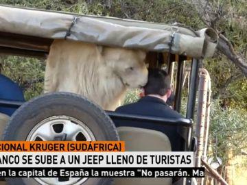 Un león blanco se sube al coche de los turistas en Sudáfrica